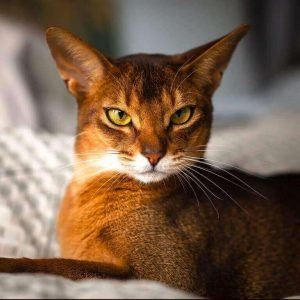 small cat breeds abyssinian