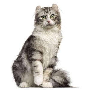small cat breeds american curl