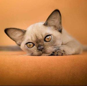 small cat breeds burmese