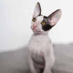 small cat breeds cornish rex