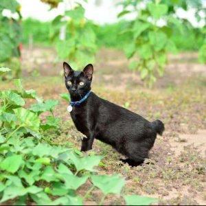 small cat breeds japanese bobtail