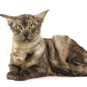 small cat breeds javanese