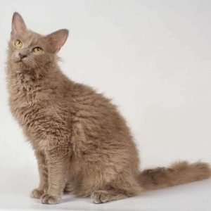 small cat breeds laperm
