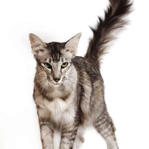 small cat breeds oriental longhair