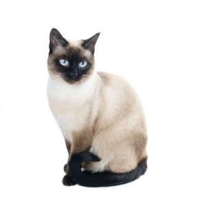 small cat breeds siamese