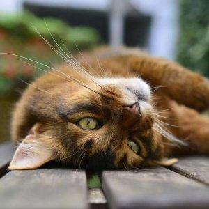 small cat breeds somali