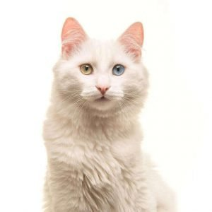 small cat breeds turkish angora