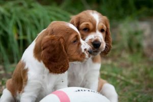 welsh springer cute puppies