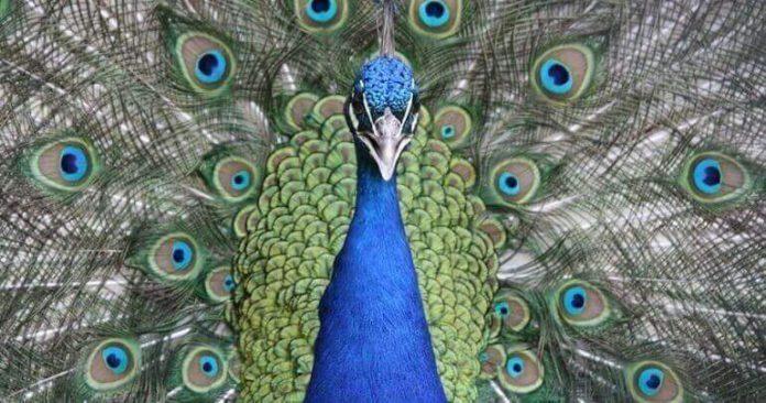 what do peacocks eat
