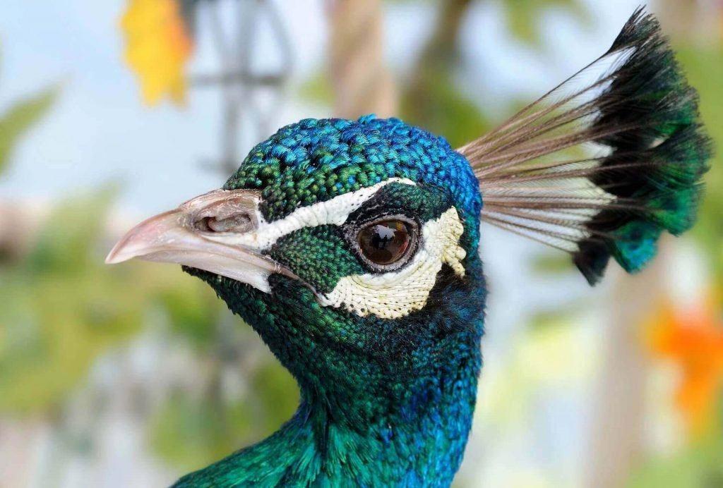what do peacocks eat 2