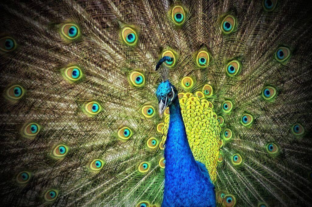 what do peacocks eat 3
