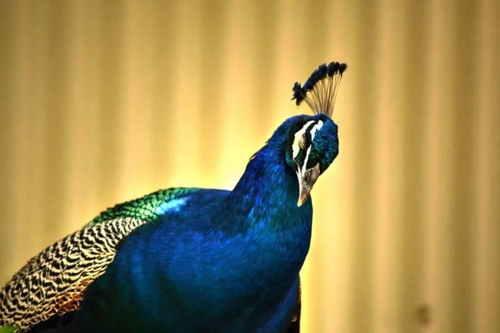 what do peacocks eat 4