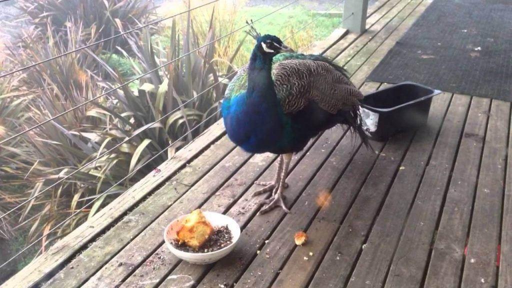 what do peacocks eat 7