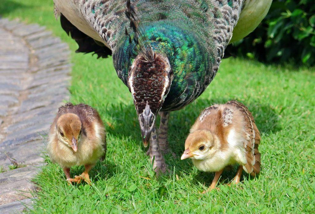 what do peacocks eat 8