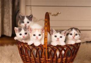 320 498805012 kittens in braided basket