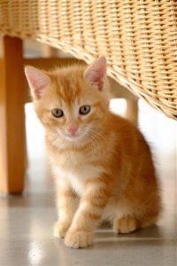320 501646668 ginger kitten