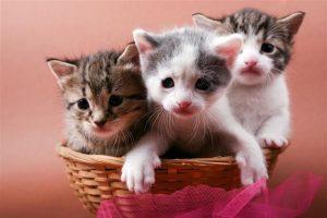 640 471188425 kittens in basket