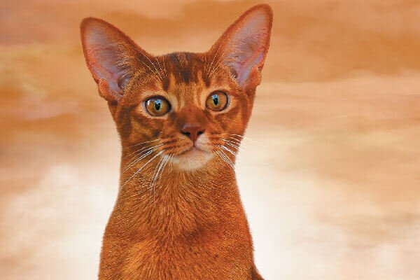 Abyssinian Cat With Big Eyes
