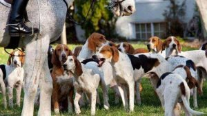 American Foxhound Cheapest Dog