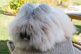 Angora Rabbit 5