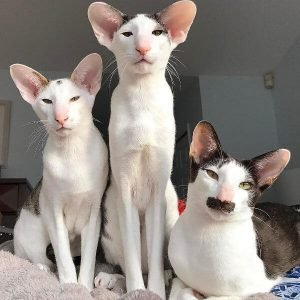 Asian Shorthair Cats That Dont Shed