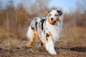Australian Shepherd Cheap Dogs