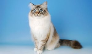 Birman Cats That Dont Shed