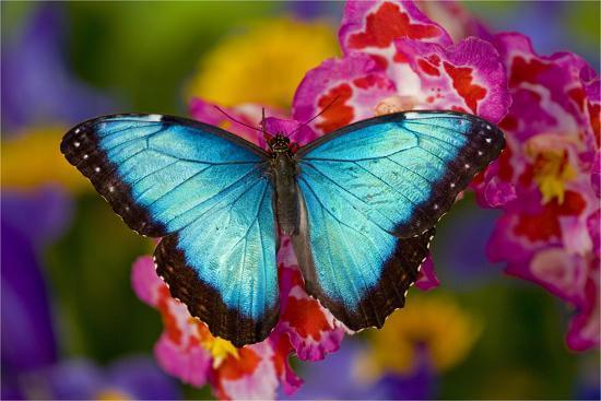 Blue Morpho Butterfly 6