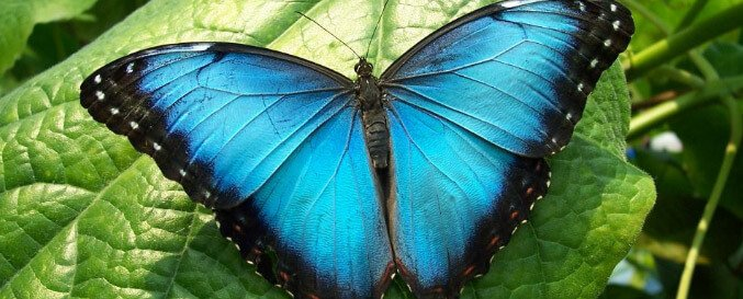 Blue Morpho Butterfly 8