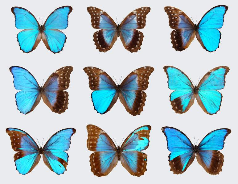 Blue Morpho butterfly 1