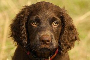 Boykin Spaniel Cheap Dog