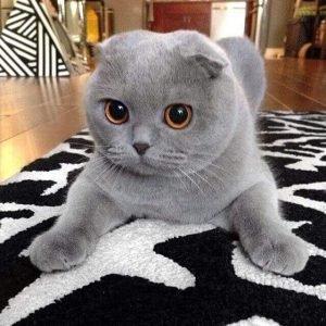 British Shorthair Cat With Big Eyes