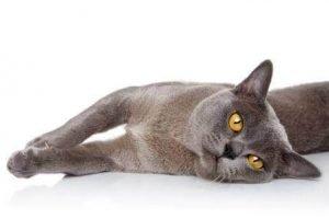 Burmese Cat With Big Eyes