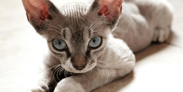 Devon Rex Cat With Big Eyes