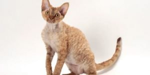 Devon Rex Cats That Dont Shed