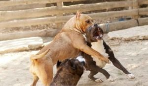 DogFighting Training