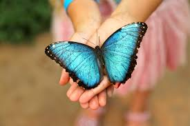 Blue Morpho Butterfly 4