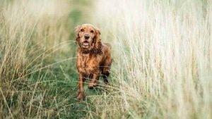 Field Spaniel Cheap Dog