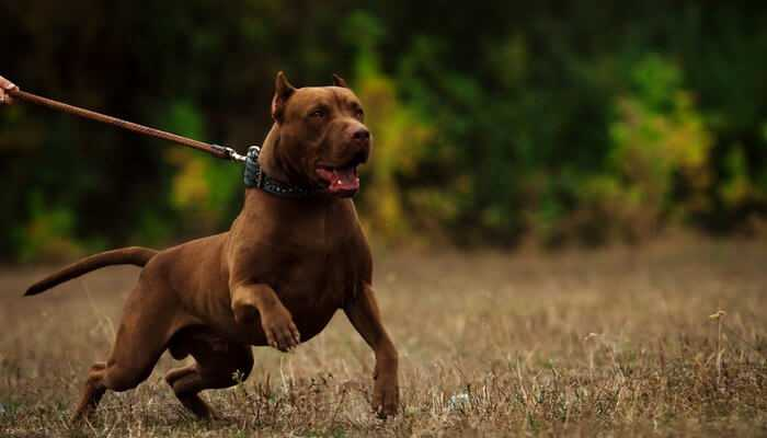 Fighting Dog Breeds American Pit Bull Terrier