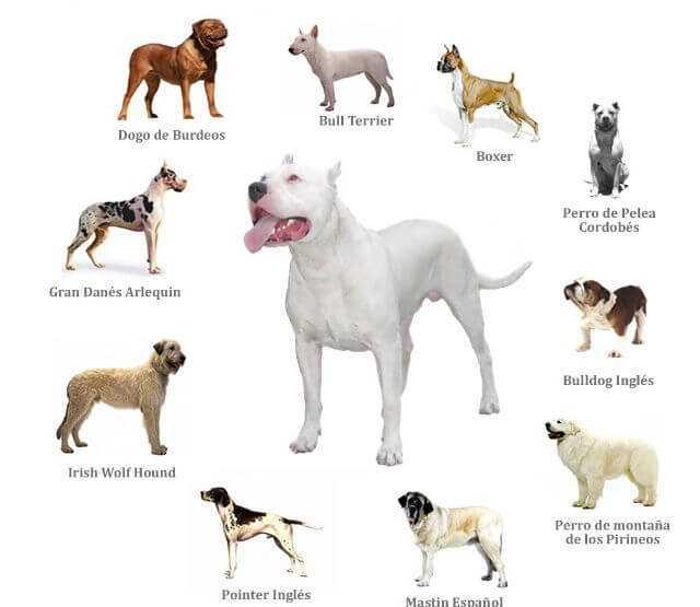 Fighting dog breeds 1