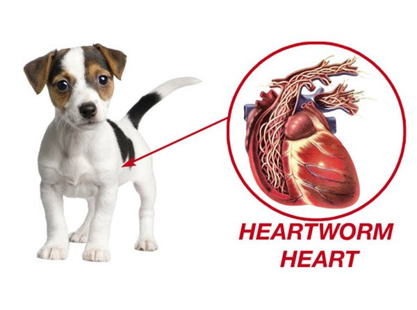 Heartworm in Dogs 3
