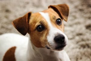 Jack Russell Terrier Cheapest Dog