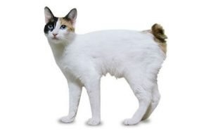 Japanese Bobtail Cats That Dont Shed