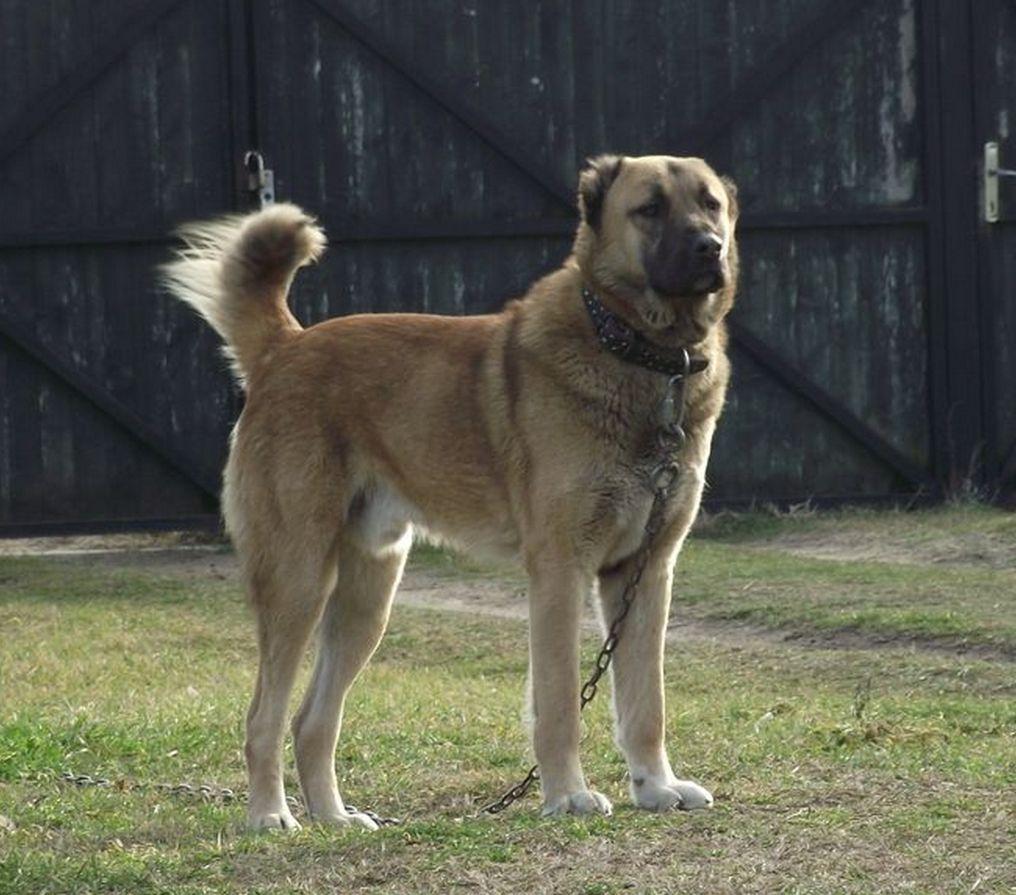 Kuchi Fighting Dog