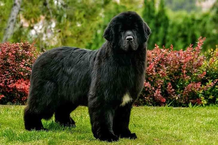 Newfoundland Black Dog