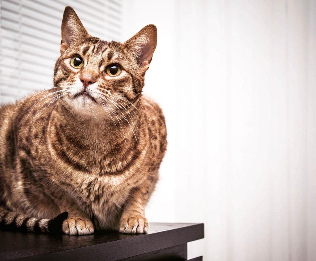 Ocicat Cat With Big Eyes