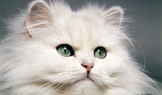 Persian Cat With Big Eyes