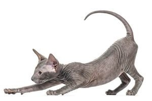Peterbald Cats That Dont Shed