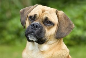 Puggle Cheap Dogs