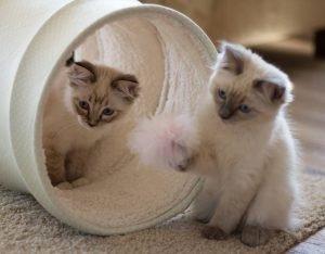 Ragdoll Kittens 3